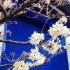 さくらんぼの木のご利益/大阪の着付け教室きものたまより