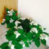 お庭のお手入れと紫陽花/大阪の着付け教室きものたまより
